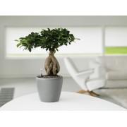 Ficus ginseng bonsai 20/40 cm in ghiveci Lechuza classico LS21 cm