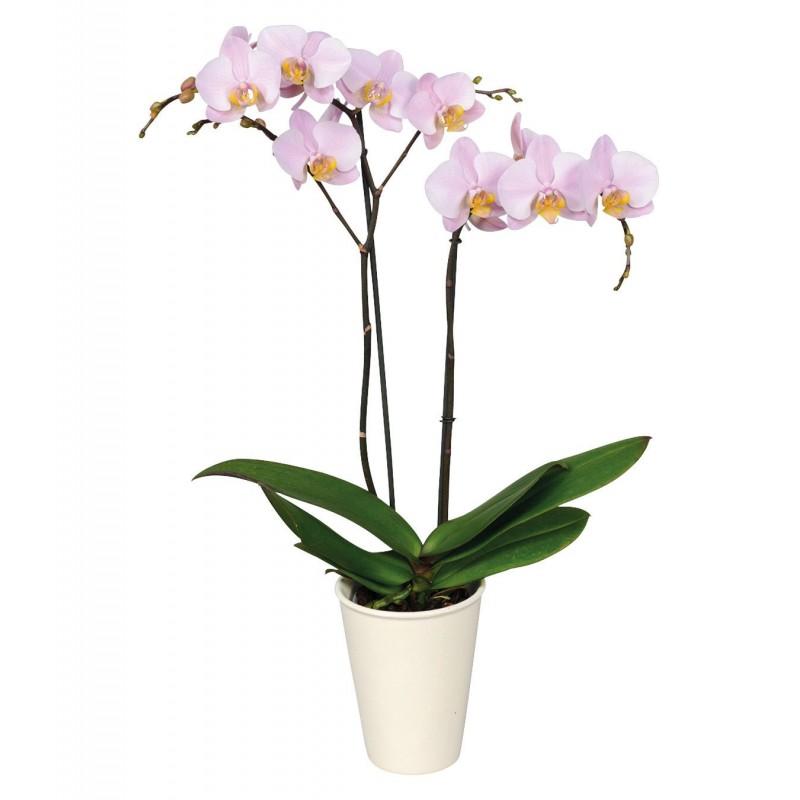 Phalenopsis 2 tulpini in masca for Plante x ragnarok