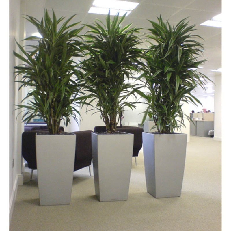 amenajare 3 dracaena warneckii ramificate 32 150 in lechuza cubico 40 75. Black Bedroom Furniture Sets. Home Design Ideas
