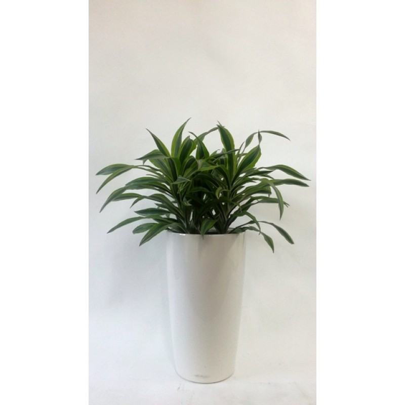 Dracaena lemon lime 3 plante 17 70 cm in lechuza rondo 30 for Plante 70 cm