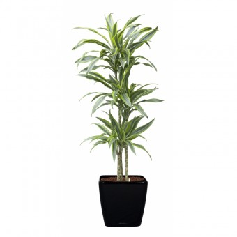 Dracaena lemon lime 3 tulpini 24/150 cm in Lechuza quadro 35 cm