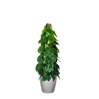 Philodendron scandens / brasil 27/150 cm in Lechuza classico LS43 cm