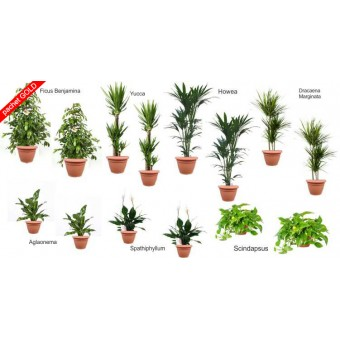 Pachet plante gold (14 plante decorative in ghivece Hobby)