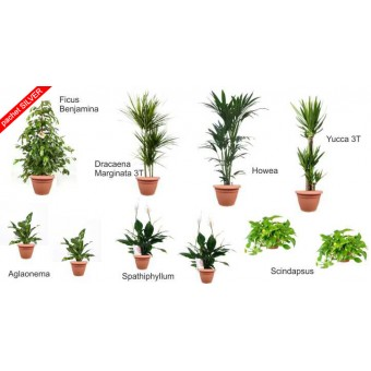Pachet plante silver (10 plante decorative in ghivece Hobby)