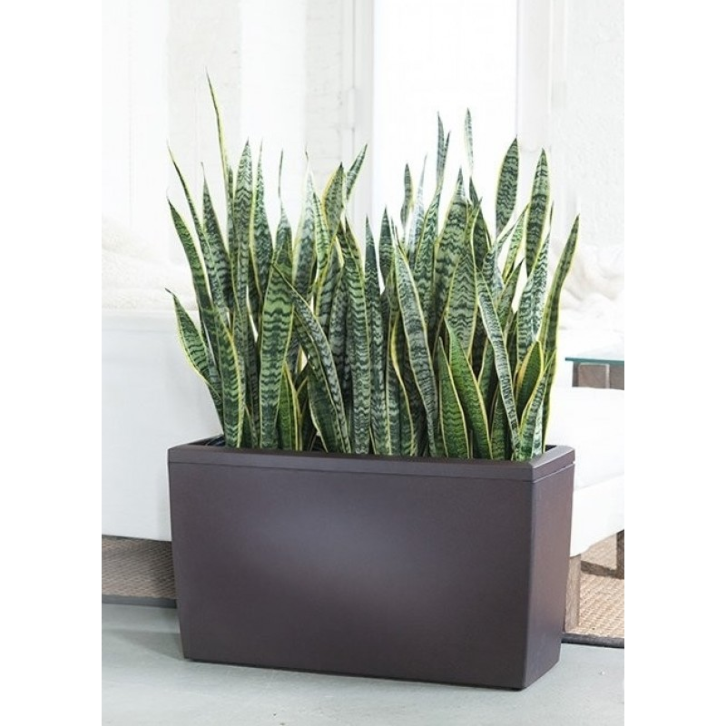 lechuza cararo 75 cm cu sansevieria laurentii 3 plante 24 80 cm paravan verde. Black Bedroom Furniture Sets. Home Design Ideas