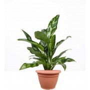 Aglaonema 15/40 cm in ghiveci decorativ Hobby