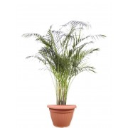 Areca 24/150 cm in ghiveci decorativ Hobby