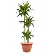 Dracaena janet craig 3 tulpini 24/140 cm in ghiveci decorativ Hobby