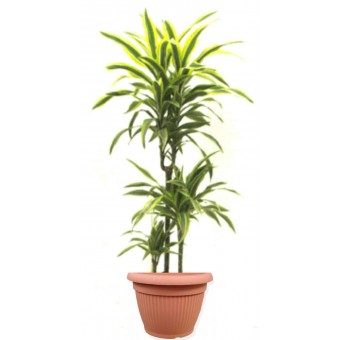 Dracaena lemon lime 3 tulpini 24/150 cm in ghiveci decorativ Hobby