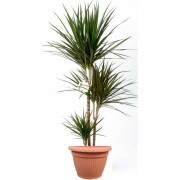 Dracaena marginata 3 tulpini 24/150 cm in ghiveci decorativ Hobby