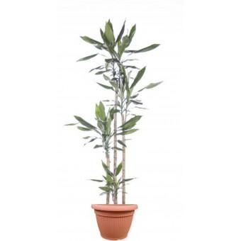 Dracaena steudneri 4 tulpini 27/190 cm in ghiveci decorativ Hobby