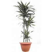 Dracaena warneckii 3 tulpini 24/150 cm in ghiveci decorativ Hobby