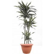 Dracaena warneckii 3 tulpini 24/150 cm in ghiveci decorativ Hobby