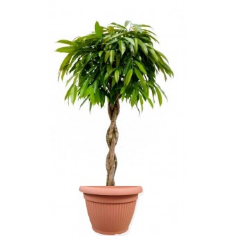 Ficus amstel impletit 33/140 cm in ghiveci decorativ Hobby