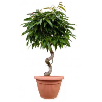 Ficus amstel impletit spiral 33/140 cm in ghiveci decorativ Hobby