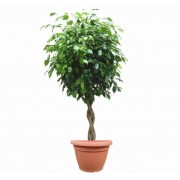 Ficus benjamina impletit 33/140 cm in ghiveci decorativ Hobby