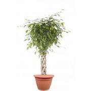 Ficus benjamina impletit koker 33/140 cm in ghiveci decorativ Hobby