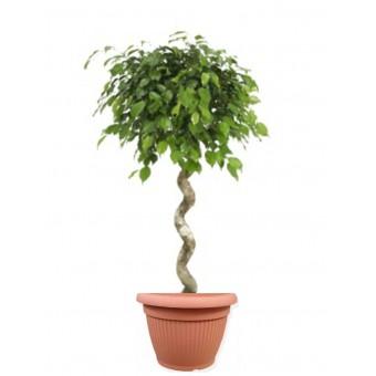 Ficus benjamina impletit spiral 33/140 cm in ghiveci decorativ Hobby