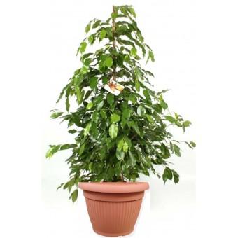 Ficus benjamina piramidal 27/150 cm in ghiveci decorativ Hobby