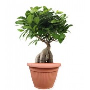 Ficus ginseng bonsai 20/40 cm in ghiveci decorativ Hobby
