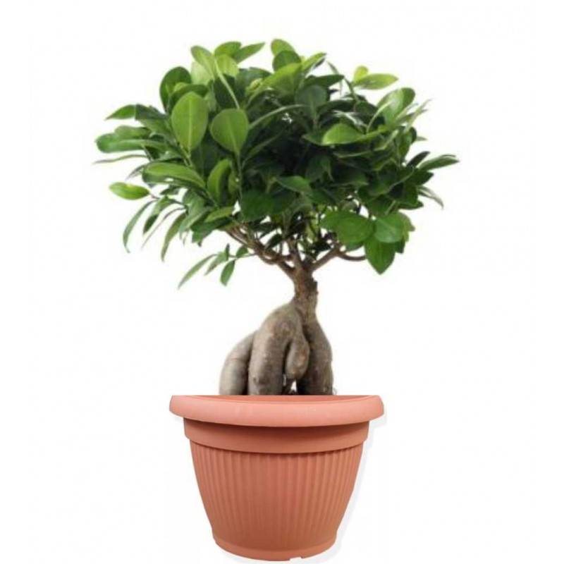 ficus ginseng bonsai 20 40 cm in ghiveci decorativ hobby. Black Bedroom Furniture Sets. Home Design Ideas