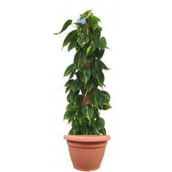 Philodendron scandens / brasil 27/150 cm in ghiveci decorativ Hobby