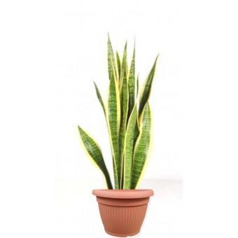 Sansevieria laurentii 17/65 cm in ghiveci decorativ Hobby