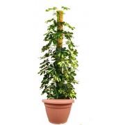 Schefflera compacta tutore 27/150 cm in ghiveci decorativ Hobby