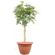 Schefflera gold impletita 27/120 cm in ghiveci decorativ Hobby
