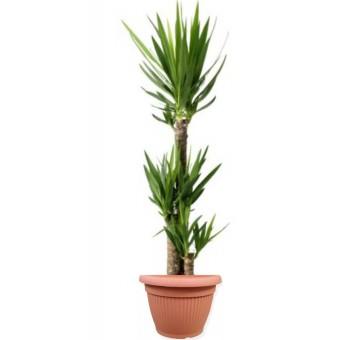 Yucca 3 tulpini 27/140 cm in ghiveci decorativ Hobby
