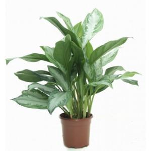 Plante pe mobilier for Plante 60 80