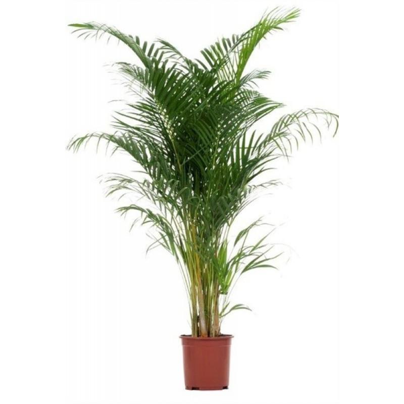Areca 27 170 cm for Plante x ragnarok