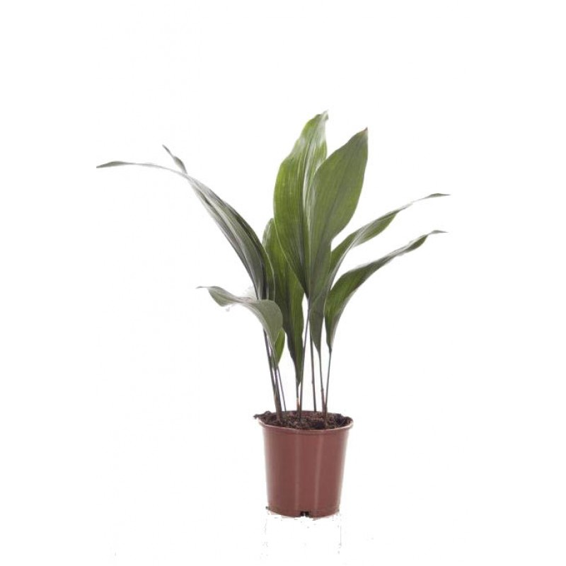 Aspidistra 9 fire 17 70 cm for Plante 70 cm