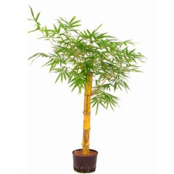 Bambusa vulgaris 35/130 cm