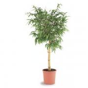 Bambusa vulgaris 45/170 cm