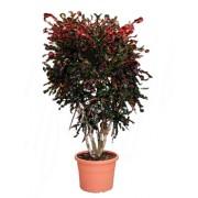 Croton curley boy 32/140 cm