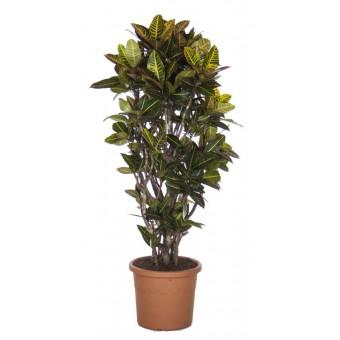 Croton petra ramificat 40/170 cm