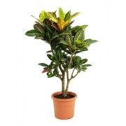 Croton petra ramificat 27/90 cm