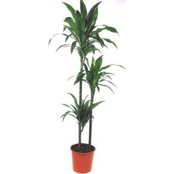 Dracaena janet craig 3 tulpini 24/140 cm