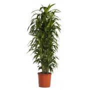 Dracaena janet craig ramificata 34/170 cm