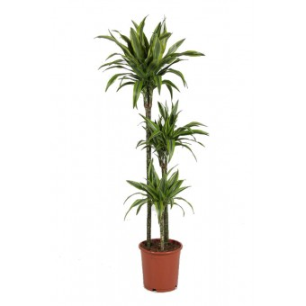 Dracaena lemon lime 3 tulpini 24/150 cm