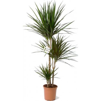 Inchiriere termen scurt planta Dracaena marginata 3 tulpini 150 cm (pentru evenimente)