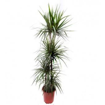 Dracaena marginata 4 tulpini 27/190 cm