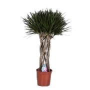 Dracaena marginata koker 34/160 cm