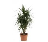Dracaena marginata ramificata 24/120 cm