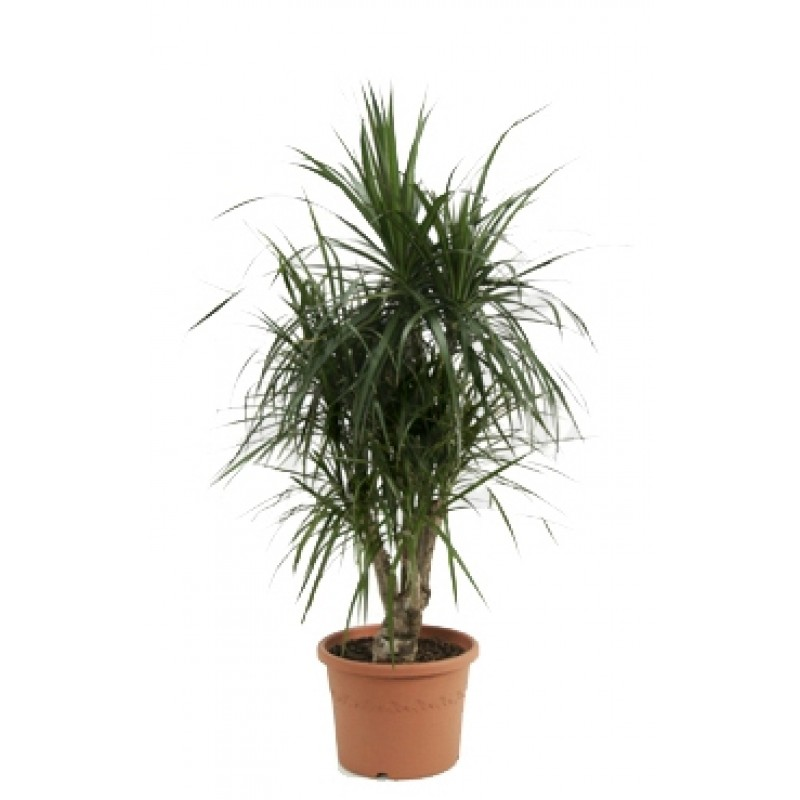 Dracaena marginata related keywords dracaena marginata for Dracaena marginata