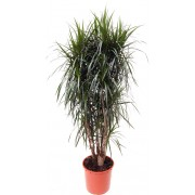 Dracaena marginata ramificata 34/170 cm