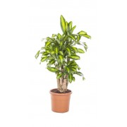 Dracaena massangeana ramificata 30/110 cm