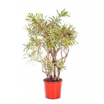 Dracaena song of india ramificata 40/180 cm