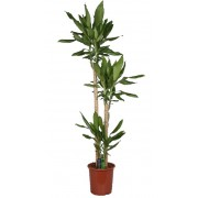 Dracaena steudneri 3 tulpini 24/140 cm